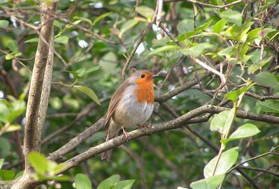Regents Park, Friday, morning, march 19, 2010. European Robin
