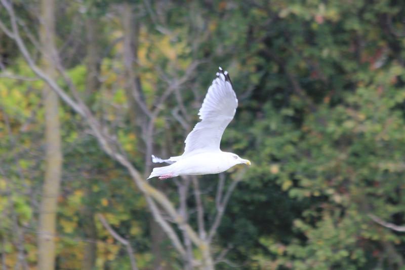 October 11, 2011 (Wheatly Harbor [over Marsh across from harbor] / Chatham-Kent County, Ontario) - Herring Gull