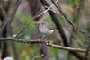 October 12, 2011 (Ottawa National Wildlife Refuge [near trail] / Ottawa County, Ohio) - Ruby-crowned Kinglet