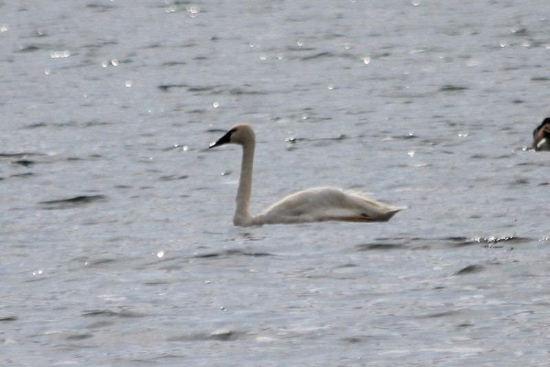 October 13, 2011 (Presque Isle State Park [from edge of bay across from Perry monument] / Erie County, Pennsylvania) - Tundra Swan