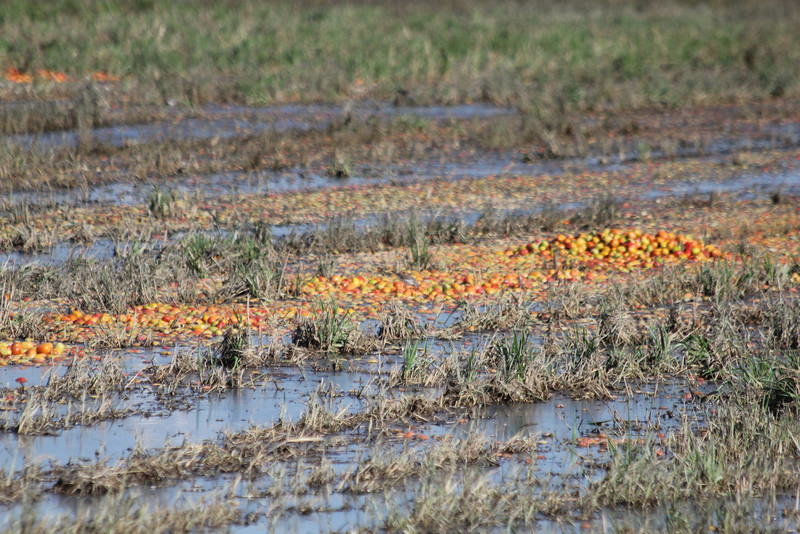 "October 9, 2011 (Comber Sideroad [flooded tomato field with rotting tomatos] / Essex County, Ontario) - ""20,000 pounds of Rotten Tomatoes"""
