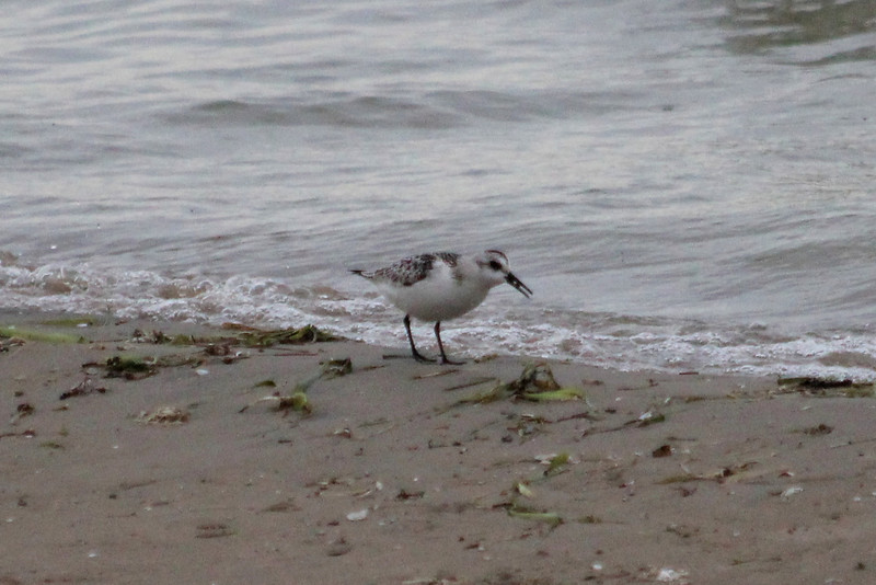 October 11, 2011 (East Harbor State Park [on beach] / Port Clinton, Ottawa County, Ohio) - Sanderling