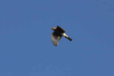 October 9, 2011 (Point Pelee National Park [over Point Pelee Tip] / Essex County, Ontario) - Sharp-shinned Hawk in flight