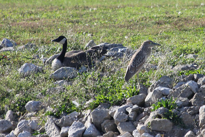 October 9, 2011 (Lighthouse Cove [from lakeside of Lighthouse Inn Restaurant] / Essex County, Ontario) - Canada Goose & Black-crowned Night Heron