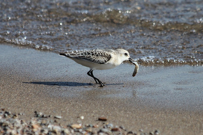 October 9, 2011 (Point Pelee National Park [Point Pelee East shore] / Essex County, Ontario) - Sanderling with a fish dinner - had to make evasive maneuvers to avoid sharing with other Sanderlings