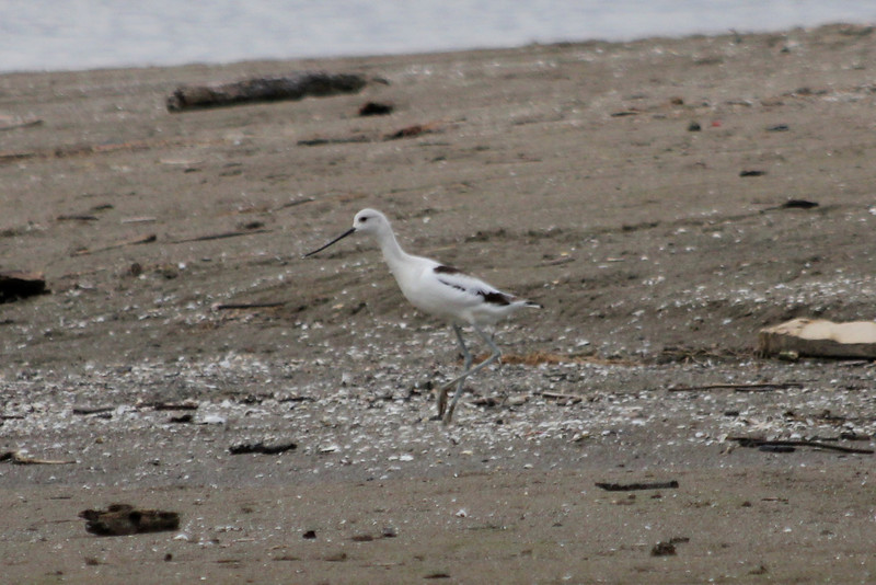 October 13, 2011 (Conneaut Harbor [from spit] / Conneaut, Ashtabula County, Ohio) - American Avocet