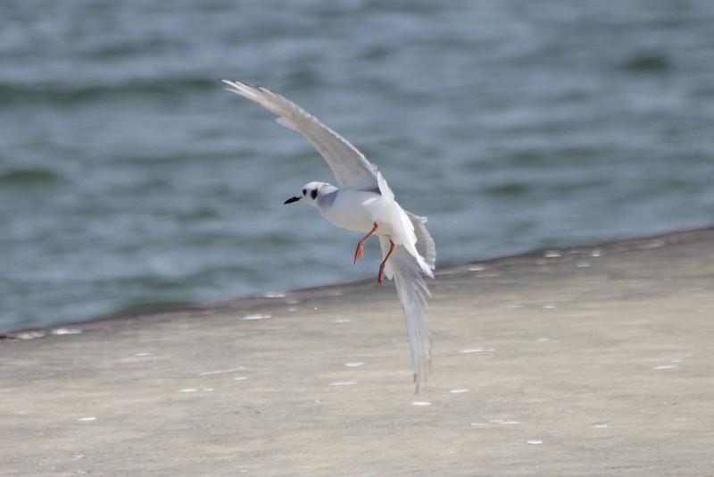 October 11, 2011 (Metzger Marsh [fishing pier] / Lucas County, Ohio) - Bonaparte's Gull landing on pier