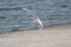 October 11, 2011 (Metzger Marsh [fishing pier] / Lucas County, Ohio) - Bonaparte's Gull landing on pier