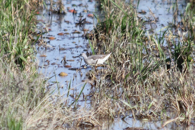 October 9, 2011 (Comber Sideroad [flooded tomato field with rotting tomatos] / Essex County, Ontario) - Wilson's Phalarope