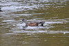 October 13, 2011 (Conneaut Harbor [wildlife viewing stand] / Conneaut, Ashtabula County, Ohio) - American Wigeon