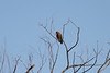 October 8, 2011 (Indiana Dunes National Lakeshore [Great Marsh - Beverly Drive] / Porter County, Indiana) - Noisy but beautiful Red-shouldered Hawk