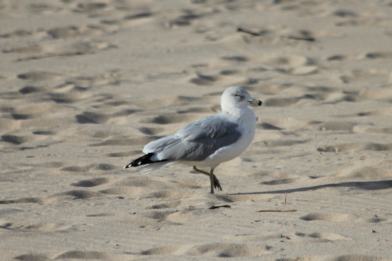 October 7, 2011 (Indiana Dunes State Park [West Beach] / Porter County, Indiana) - Ring-billed Gull