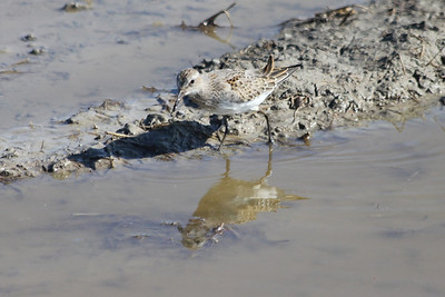 October 9, 2011 (Comber Sideroad [flooded tomato field with rotting tomatos] / Essex County, Ontario) - Young White-rumped Sandpiper