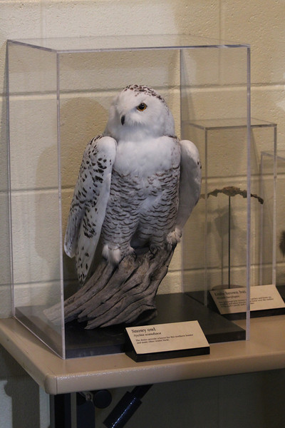 October 8, 2011 (Indiana Dunes National Lakeshore [Visitor Center] / Porter County, Indiana) - Snowy Owl display / Not likely to see a Snowy Owl unless we go to Alaska or Canada in Winter or just get really lucky