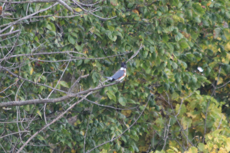 October 11, 2011 (Wheatly Harbor [Marsh across from harbor] / Chatham-Kent County, Ontario) - Female Belted Kingfisher