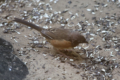 October 7, 2011 (Indiana Dunes State Park [Visitor Center - under feeders] / Porter County, Indiana) - Female Eastern Towhee