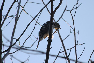 October 9, 2011 (Point Pelee National Park [Point Pelee Tip] / Essex County, Ontario) - Young Sharp-shinned Hawk scratching head