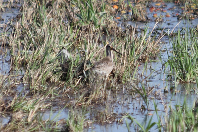 October 9, 2011 (Comber Sideroad [flooded tomato field with rotting tomatos] / Essex County, Ontario) - Hudsonian Godwit