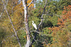 October 8, 2011 (Indiana Dunes National Lakeshore [Great Marsh - Beverly Drive] / Porter County, Indiana) - Great Egret in the trees