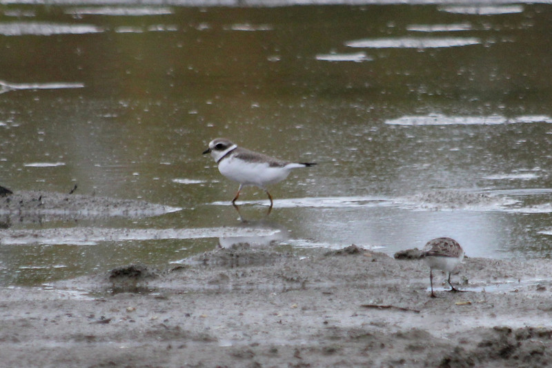 October 13, 2011 (Conneaut Harbor [from spit] / Conneaut, Ashtabula County, Ohio) - Semipalmated Plover