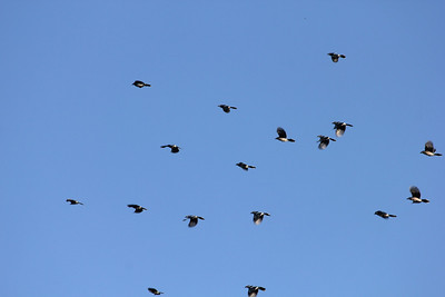 October 9, 2011 (Point Pelee National Park [over Point Pelee Tip] / Essex County, Ontario) - A small group of the hundreds of Blue Jays flying back and forth over the tip of the peninsula