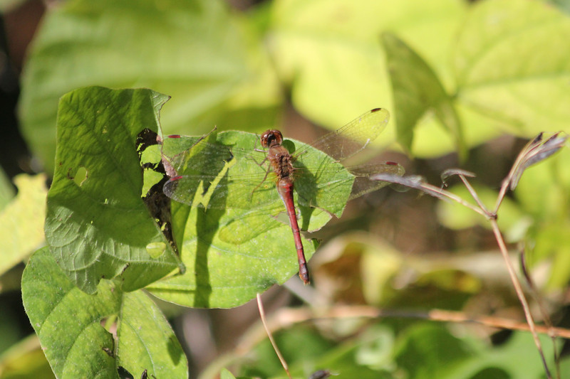 October 9, 2011 (Point Pelee National Park [Point Pelee woodland trail] / Essex County, Ontario) - Dragonfly (unidentified)