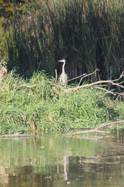 October 8, 2011 (Wheatly Harbor [Marsh across from harbor] / Chatham-Kent County, Ontario) - Great Blue Heron