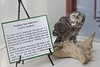 October 7, 2011 (Indiana Dunes State Park [Visitor Center] / Porter County, Indiana) - Northern Saw-whet Owl display; Netted for banding by park naturalist on October 2. This is as close as we expect to get this trip.