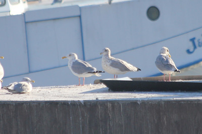 October 8, 2011 (Wheatly Harbor [Marsh across from harbor] / Chatham-Kent County, Ontario) - Herring Gulls