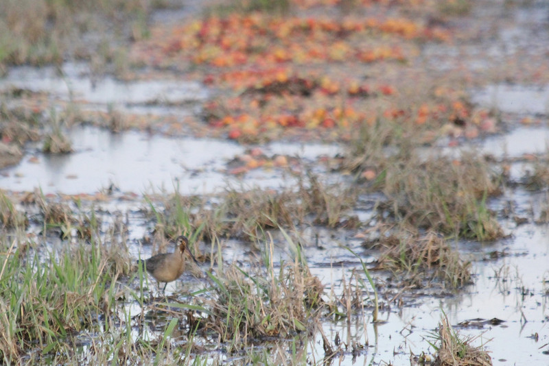 """October 10, 2011 (Comber Sideroad [flooded tomato field with rotting tomatos] / Essex County, Ontario) - """"Redux"""" Hudsonian Godwit with rotting tomatoes in background (Had to go back - Can't get enough)"""
