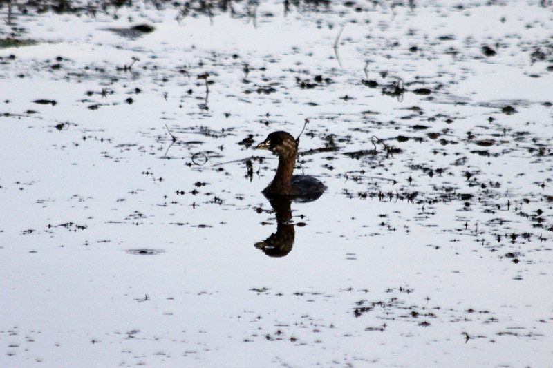 October 10, 2011 (Holiday Beach Conservation Area [near road] / Essex County, Ontario) - Pied-billed Grebe