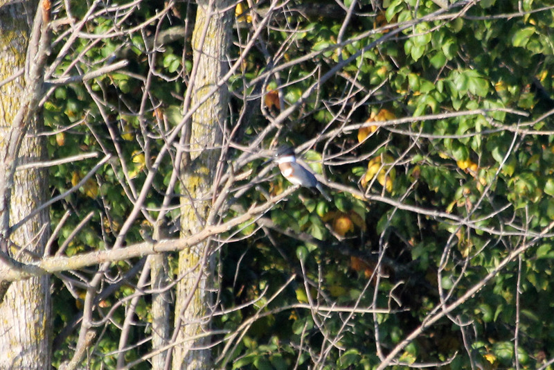 October 8, 2011 (Wheatly Harbor [Marsh across from harbor] / Chatham-Kent County, Ontario) - Female Belted Kingfisher