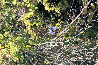 October 8, 2011 (Wheatly Harbor [Marsh across from harbor] / Chatham-Kent County, Ontario) - Belted Kingfisher coming in for a landing