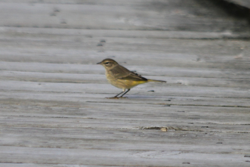October 10, 2011 (Point Pelee National Park [Point Pelee Boardwalk] / Essex County, Ontario) - Palm Warbler on boardwalk