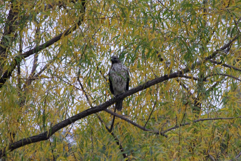 October 12, 2011 (Ottawa National Wildlife Refuge [near trailhead parking lot] / Ottawa County, Ohio) - Red-tailed Hawk