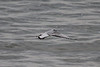 October 11, 2011 (East Harbor State Park [over lake] / Port Clinton, Ottawa County, Ohio) - Young Bonaparte's Gull