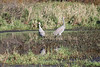 October 8, 2011 (Indiana Dunes National Lakeshore [Great Marsh - Beverly Drive] / Porter County, Indiana) - Sandhill Cranes