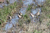October 9, 2011 (Comber Sideroad [flooded tomato field with rotting tomatos] / Essex County, Ontario) - Five of the nine Hudsonian Godwits