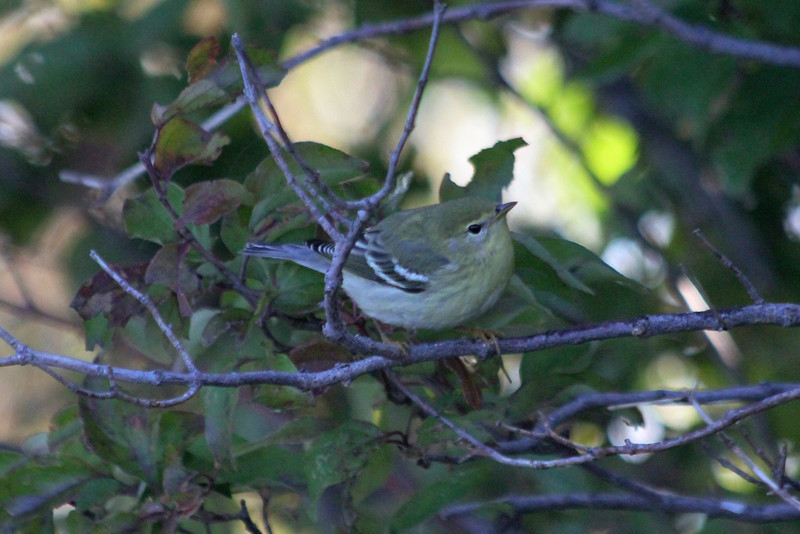 October 9, 2011 (Point Pelee National Park [Point Pelee Tip] / Essex County, Ontario) - Blackpoll Warbler