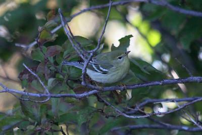 October 9, 2011 (Point Pelee National Park [Point Pelee Tip] / Essex County, Ontario) - Blackpoll Warbler
