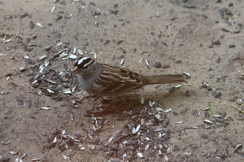 October 7, 2011 (Indiana Dunes State Park [Visitor Center - under feeders] / Porter County, Indiana) - White-crowned Sparrow