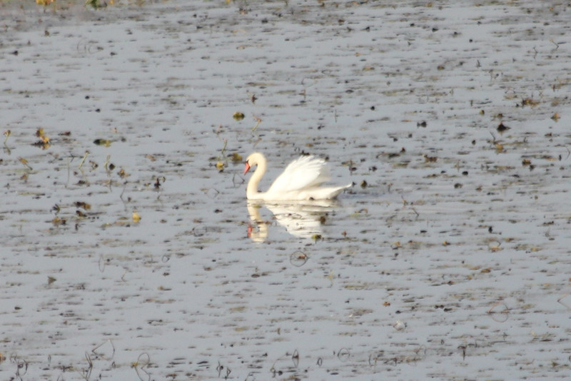 October 10, 2011 (Holiday Beach Conservation Area [from Hawk watching tower] / Essex County, Ontario) - Mute Swan