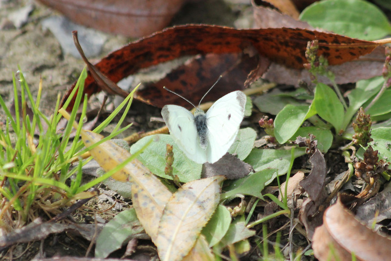 October 10, 2011 (Point Pelee National Park [Point Pelee Tip] / Essex County, Ontario) - Cabbage White Butterfly