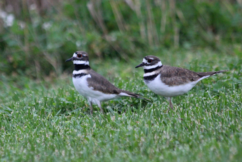 October 12, 2011 (Ottawa National Wildlife Refuge [near Visitor Center] / Ottawa County, Ohio) - Killdeer