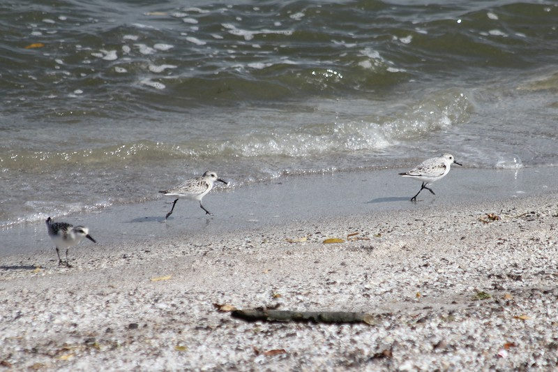 October 11, 2011 (Metzger Marsh [on beach below causeway] / Lucas County, Ohio) - Sanderlings