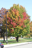 October 8, 2011 ([Reststop outside Jackson on Hwy 94] / Jackson County, Michigan) - Autumn Maple leaves
