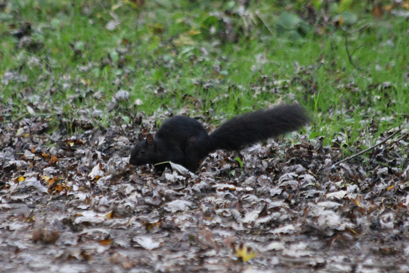 "October 10, 2011 (Holiday Beach Conservation Area [near picnic grounds] / Essex County, Ontario) - ""Black"" Squirrel"