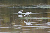 October 13, 2011 (Conneaut Harbor [from spit] / Conneaut, Ashtabula County, Ohio) - American Avocets