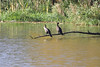 October 8, 2011 (Wheatly Harbor [Marsh across from harbor] / Chatham-Kent County, Ontario) - Double-crested Cormorants