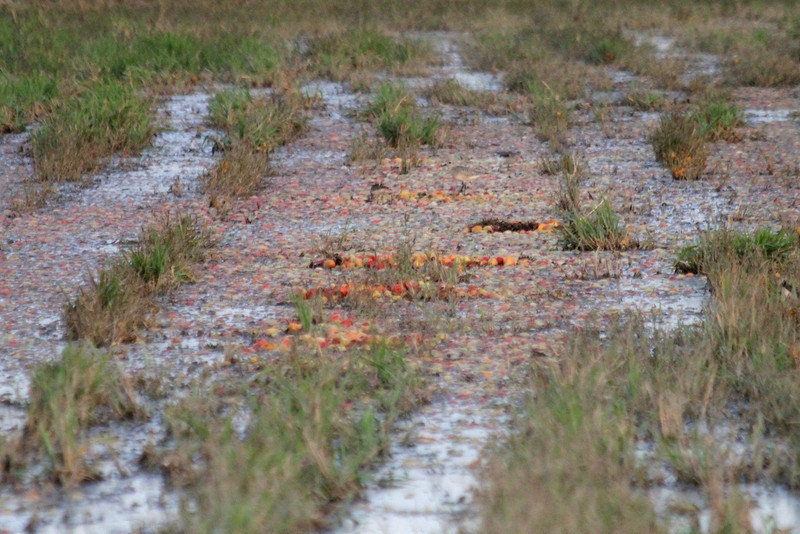 "October 10, 2011 (Comber Sideroad [flooded tomato field with rotting tomatos] / Essex County, Ontario) - ""Redux -of - 20,000 pounds of Rotten Tomatoes"" (Just had to go back to remember how bad those tomatoes smelled)"